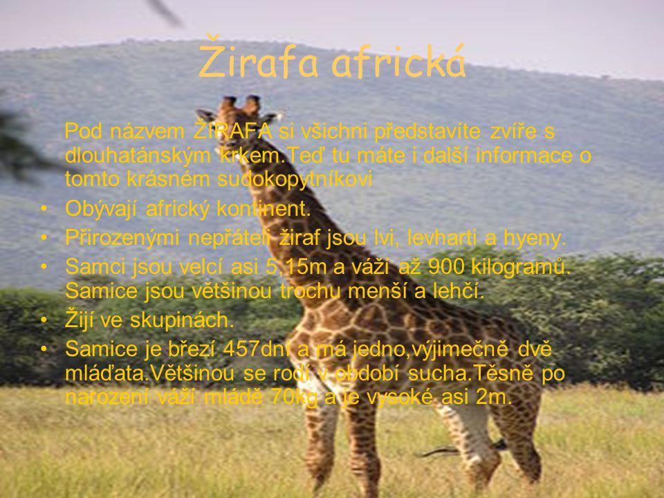 Žirafa africká Pod názvem ŽIRAFA si všichni představíte zvíře s dlouhatánským krkem.Teď tu máte i další informace o tomto krásném sudokopytníkovi Obývají africký kontinent.