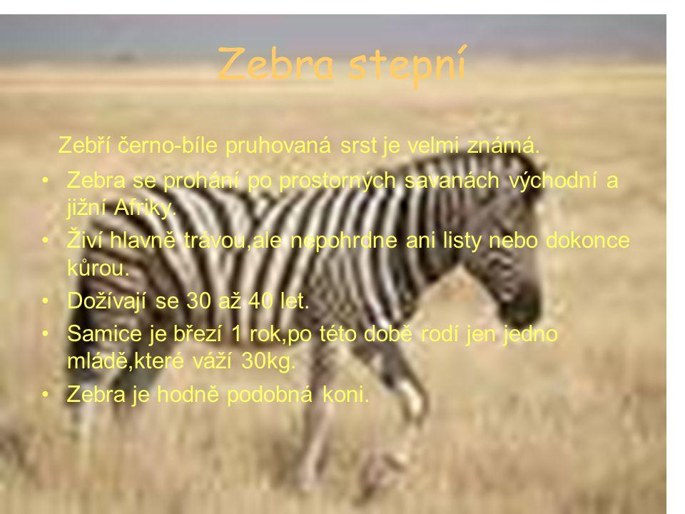 Zebra stepní Zebří černo-bíle pruhovaná srst je velmi známá. Zebra se prohání po prostorných savanách východní a jižní Afriky. Živí hlavně trávou,ale