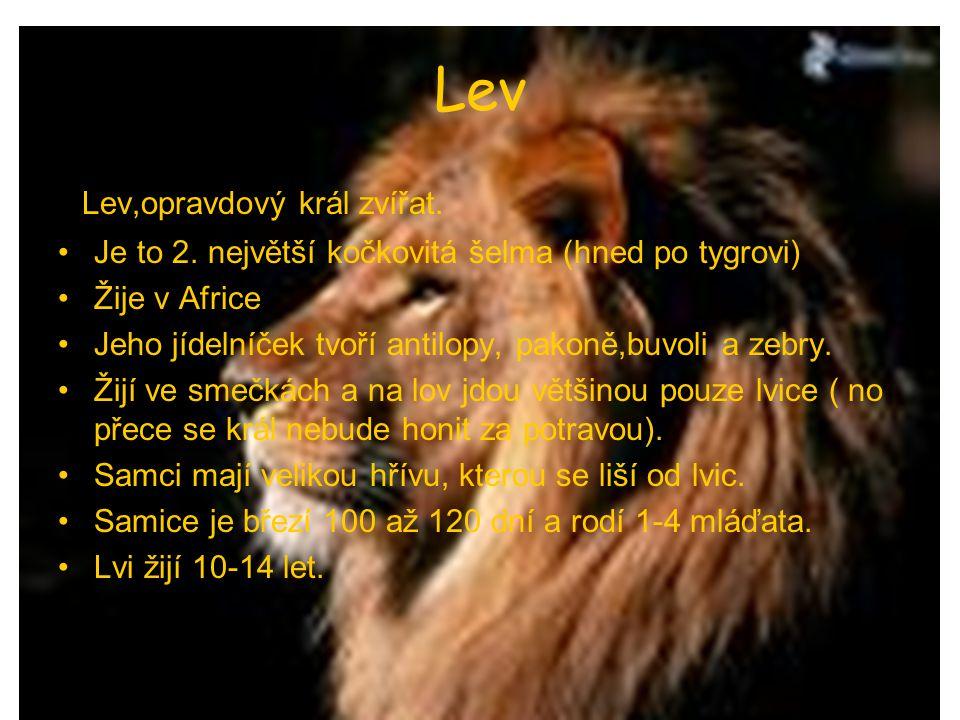 Lev Lev,opravdový král zvířat. Je to 2. největší kočkovitá šelma (hned po tygrovi) Žije v Africe Jeho jídelníček tvoří antilopy, pakoně,buvoli a zebry