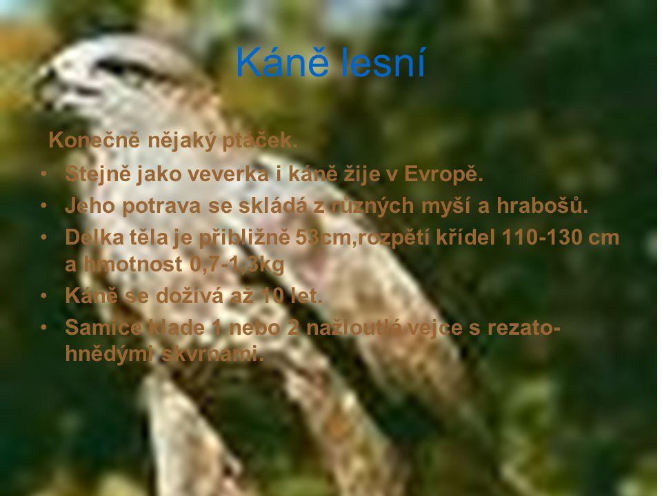 Káně lesní Konečně nějaký ptáček. Stejně jako veverka i káně žije v Evropě. Jeho potrava se skládá z různých myší a hrabošů. Délka těla je přibližně 5