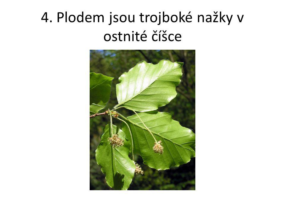 5. Plodem je oříšek, národní strom