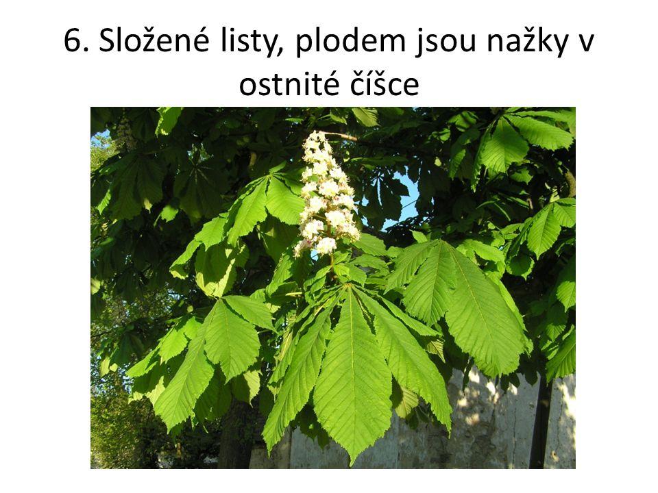 7. Listnatý strom s bílou borkou