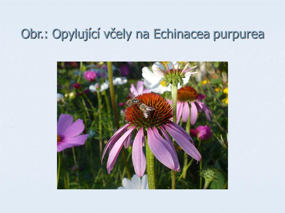 Obr.: Opylující včely na Echinacea purpurea