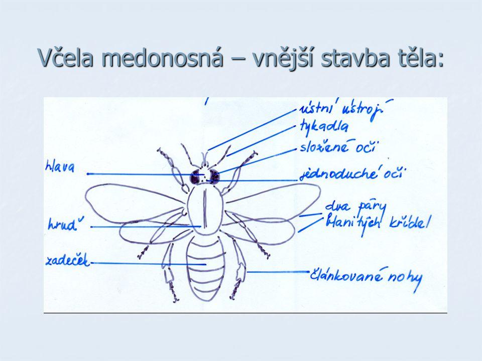 Včela medonosná – vnější stavba těla: