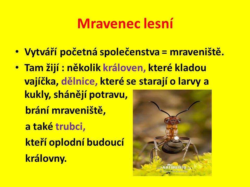 Vytváří početná společenstva = mraveniště. Tam žijí : několik královen, které kladou vajíčka, dělnice, které se starají o larvy a kukly, shánějí potra