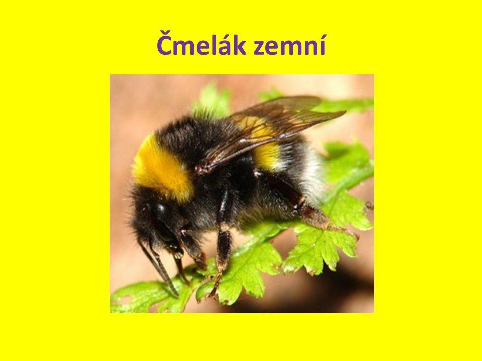 Živí se nektarem z květů.Má dlouhý sosák a pronikne i do hlubokých květů.