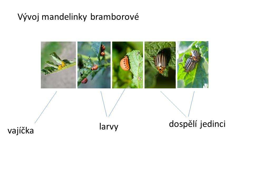 Vývoj mandelinky bramborové vajíčka larvy dospělí jedinci
