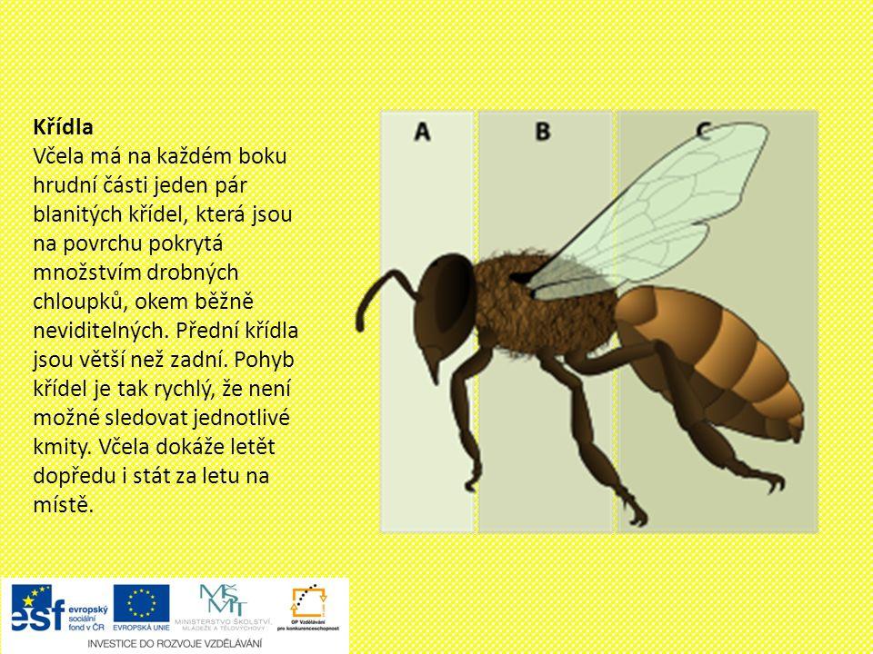 Zadeček V zadečku včely jsou uložené zažívací orgány, medový váček, jedová žláza, vzdušné vaky a žihadlo.