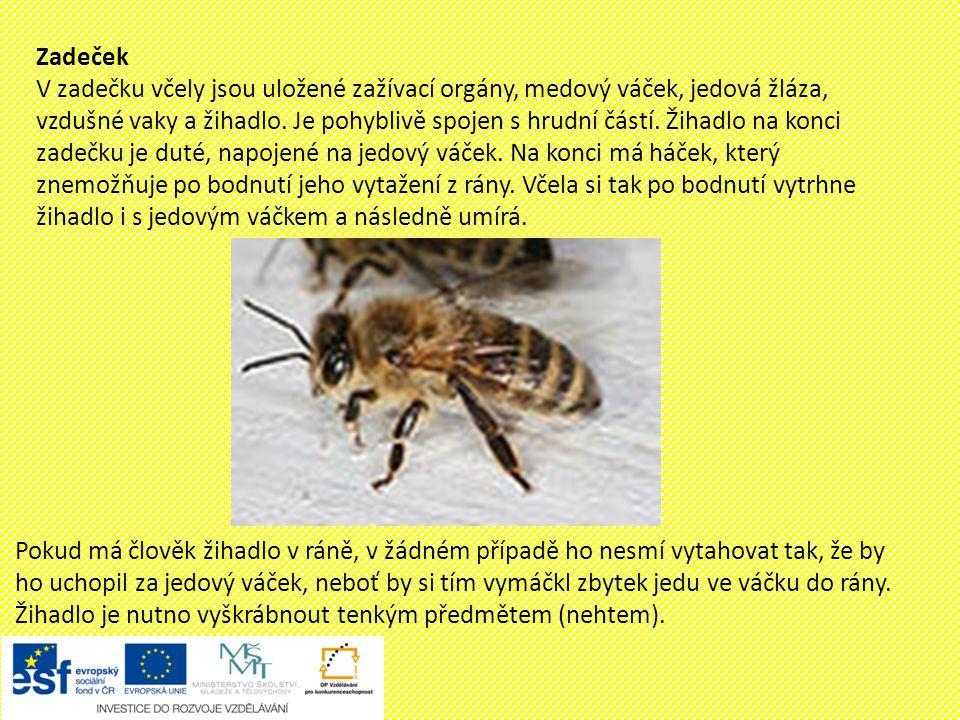 Život včely Včela medonosná žije v úlu, kde si staví hnízdo.