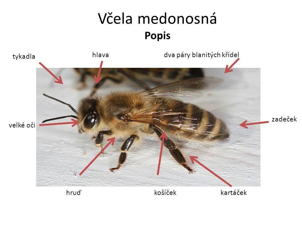 Včela medonosná Popis košíčekkartáček zadeček dva páry blanitých křídelhlava tykadla velké oči hruď