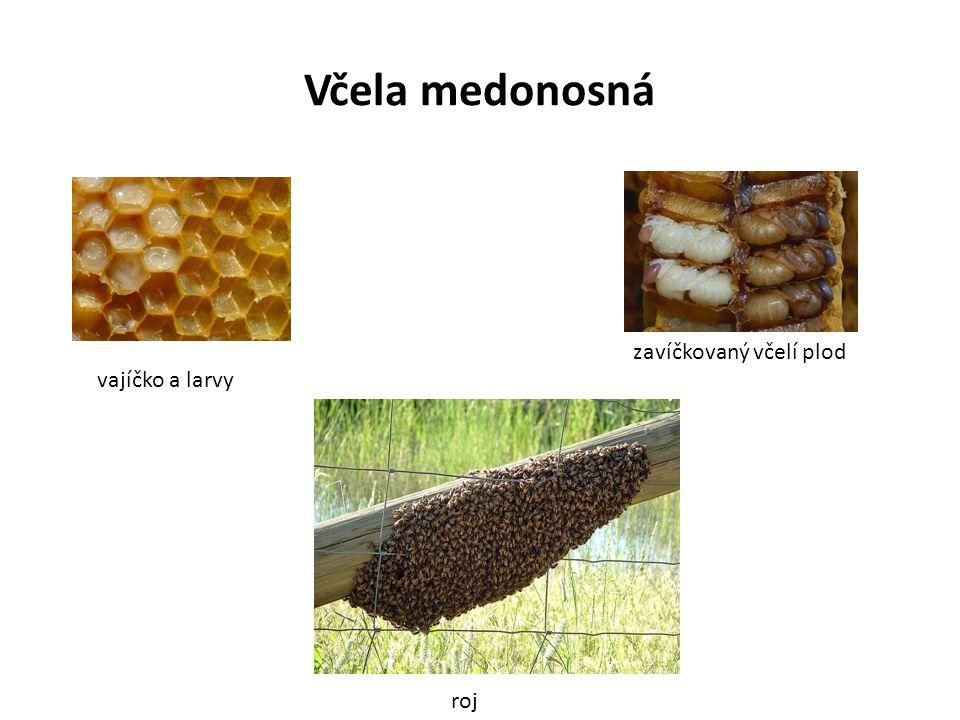 Včela medonosná vajíčko a larvy zavíčkovaný včelí plod roj
