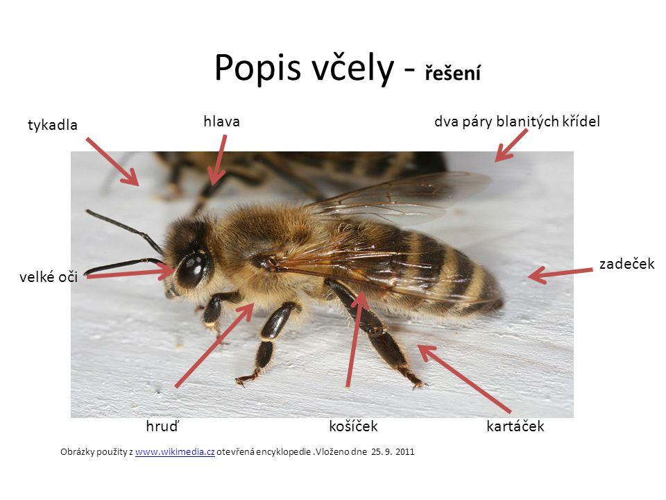 Popis včely - řešení košíčekkartáček zadeček dva páry blanitých křídelhlava tykadla velké oči hruď Obrázky použity z www.wikimedia.cz otevřená encyklo