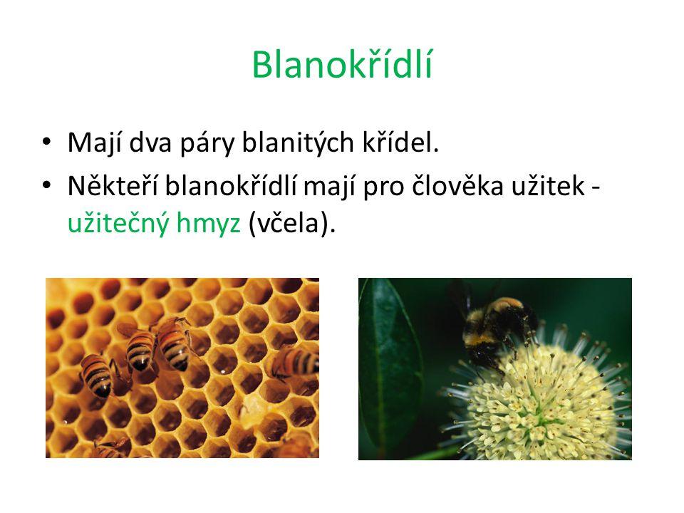 Blanokřídlí Mají dva páry blanitých křídel. Někteří blanokřídlí mají pro člověka užitek - užitečný hmyz (včela).