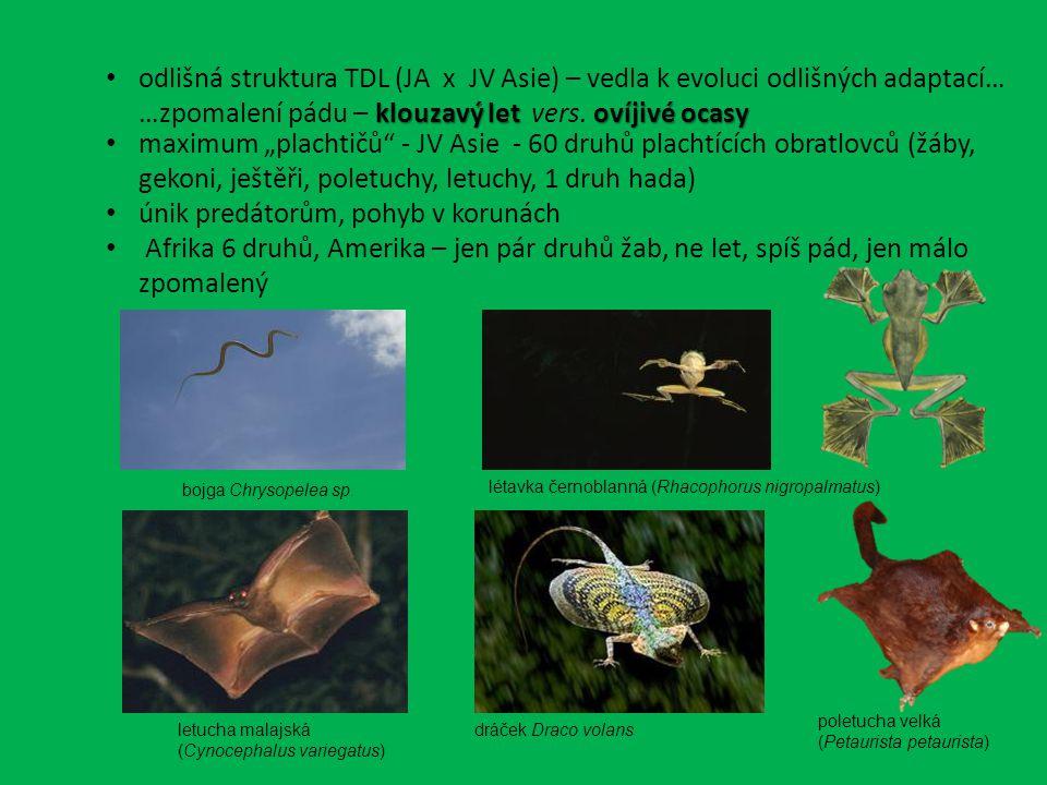 """maximum """"plachtičů - JV Asie - 60 druhů plachtících obratlovců (žáby, gekoni, ještěři, poletuchy, letuchy, 1 druh hada) únik predátorům, pohyb v korunách Afrika 6 druhů, Amerika – jen pár druhů žab, ne let, spíš pád, jen málo zpomalený letucha malajská (Cynocephalus variegatus) dráček Draco volans bojga Chrysopelea sp."""