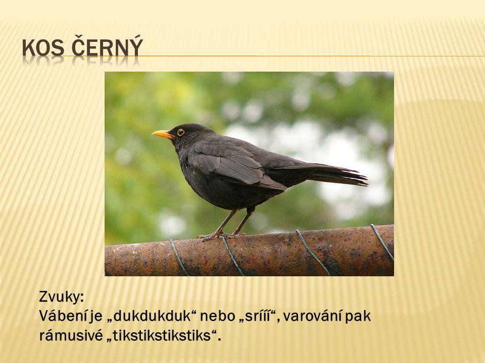 V minulosti byla tato pěnice lidově nazývaná černohlávek žádaným klecním ptákem pro svůj příjemný zpěv.