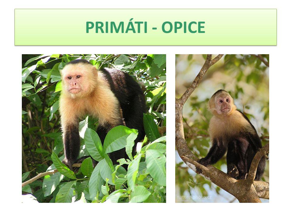  Malpa kapucínská měří na délku kolem 48 cm, přičemž dospělý samec zřídkakdy přesáhne hmotnost 6 kg, samice váží obvykle mezi 4 až 5 kg.