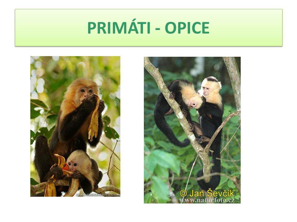  Žije ve skupinách tvořených 2 až 20 kusy a vedenými jedním dominantním samcem a samicí.