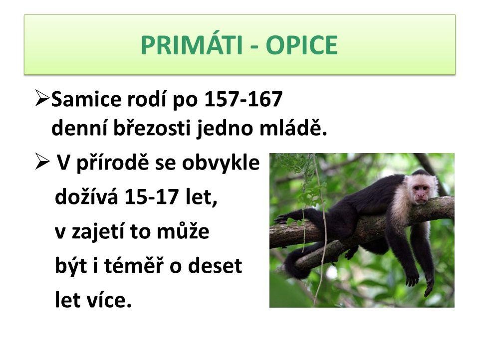 PRIMÁTI - OPICE  Samice rodí po 157-167 denní březosti jedno mládě.  V přírodě se obvykle dožívá 15-17 let, v zajetí to může být i téměř o deset let