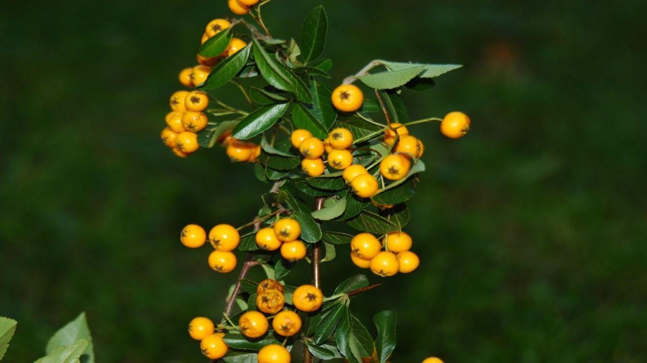 KEŘ Č.6 Náš původní, divoce rostoucí ovocný keř.