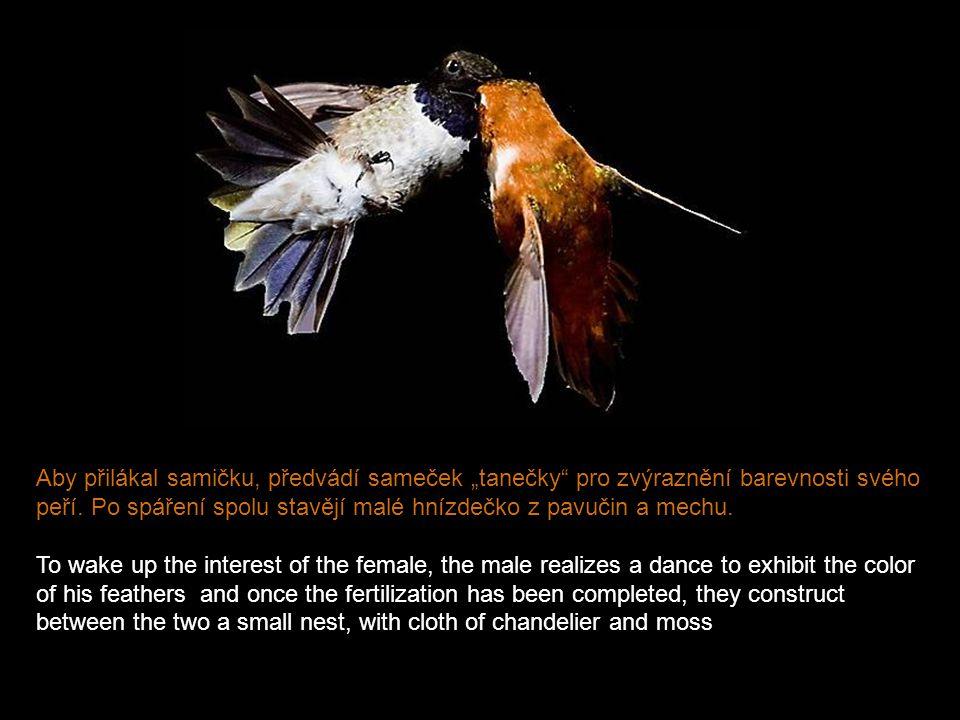 Dosahují toho vysokou frekvencí mávání křídly, 70 až 80 krát za vteřinu. They fly fluttering to a high frequency, from 70 to 80 times per second