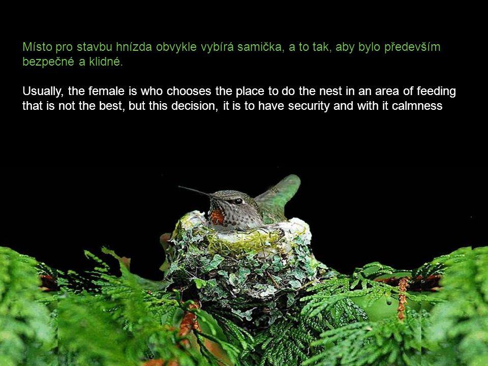 """Aby přilákal samičku, předvádí sameček """"tanečky"""" pro zvýraznění barevnosti svého peří. Po spáření spolu stavějí malé hnízdečko z pavučin a mechu. To w"""
