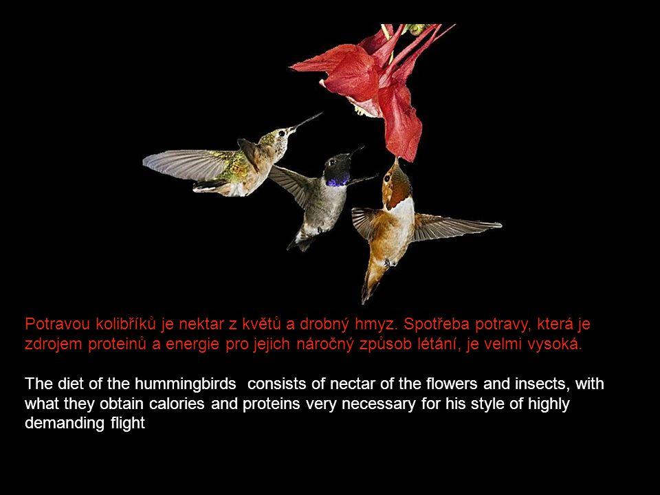 Do hnízda samička snáší obvykle dvě vajíčka, která jsou sice titěrná, ale ve srovnání s její vlastní velikostí relativně obrovská. Na vajíčcích sedí 1