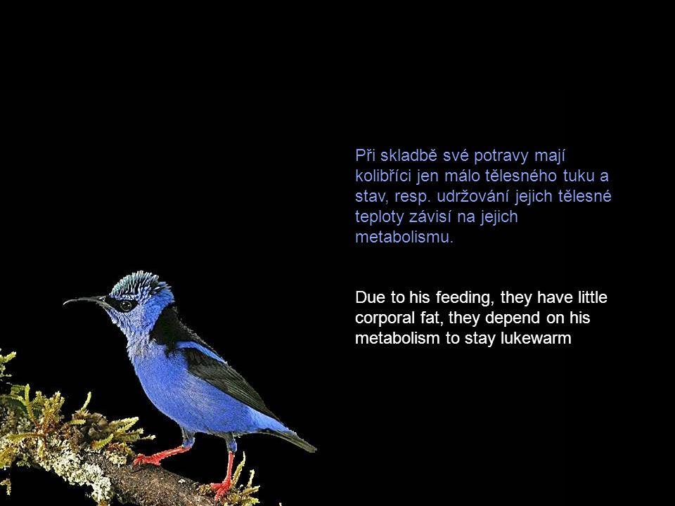 Potravou kolibříků je nektar z květů a drobný hmyz. Spotřeba potravy, která je zdrojem proteinů a energie pro jejich náročný způsob létání, je velmi v