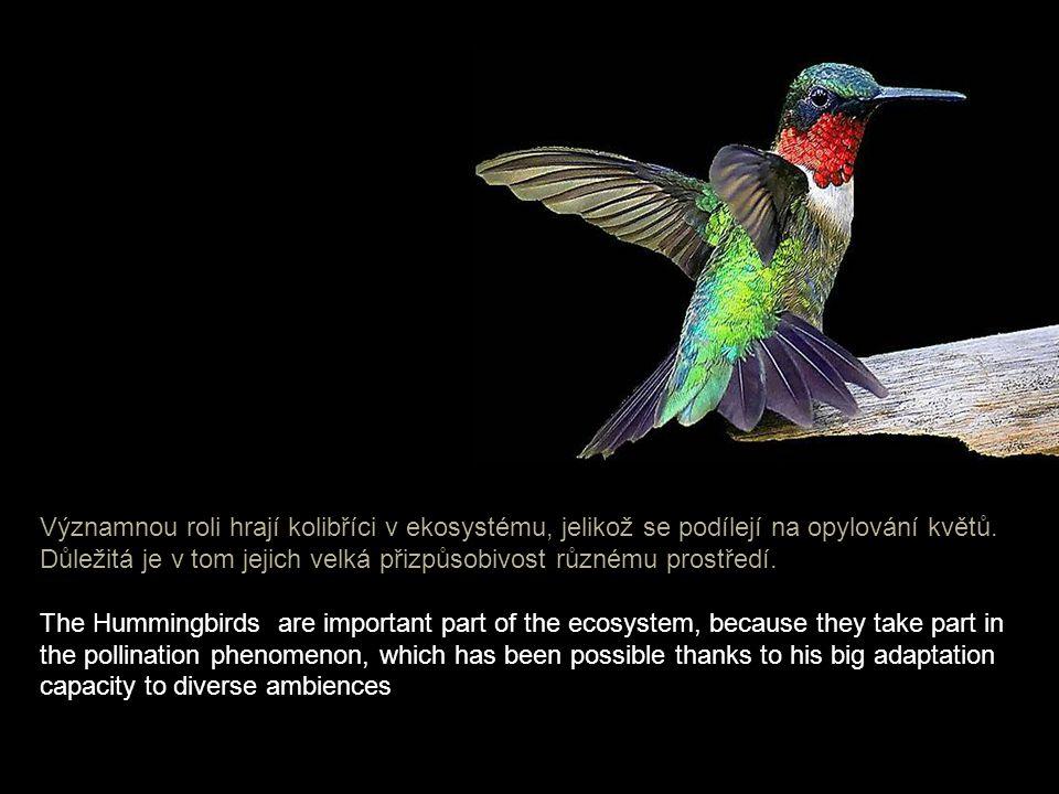 V průběhu dne je srdeční tep kolibříků kolem 1200 úderů za minutu, s příchodem noci však klesá až na 160. In the day his heart beats about 1,200 time