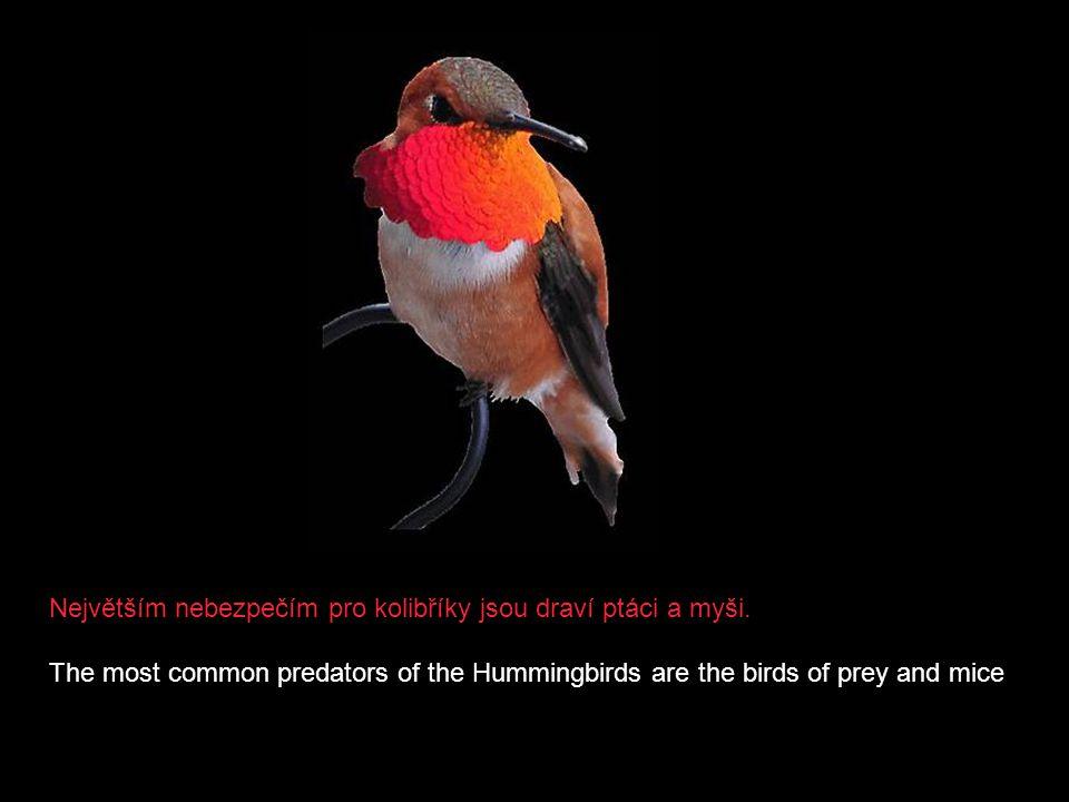 Je znáko kolem 330 druhů kolibříků. Ale zatím co třeba v malé Kostarice jich žije plných 54, na celém území USA pouze 20. There exist approximately 33