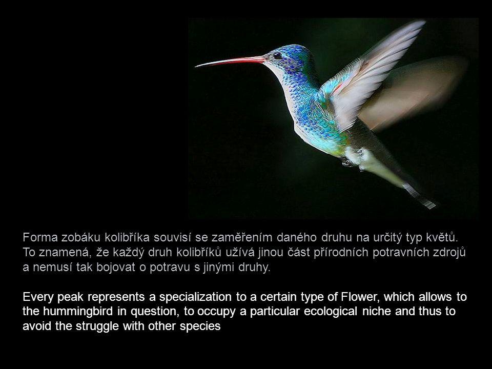 """Například kolibřík """"pico de águila"""", """"orlí zobák"""", má zobáček – jak již název napovídá – ohnutý ostře dolů. Ostatní druhy mají zobáky ohnuté spíše nah"""