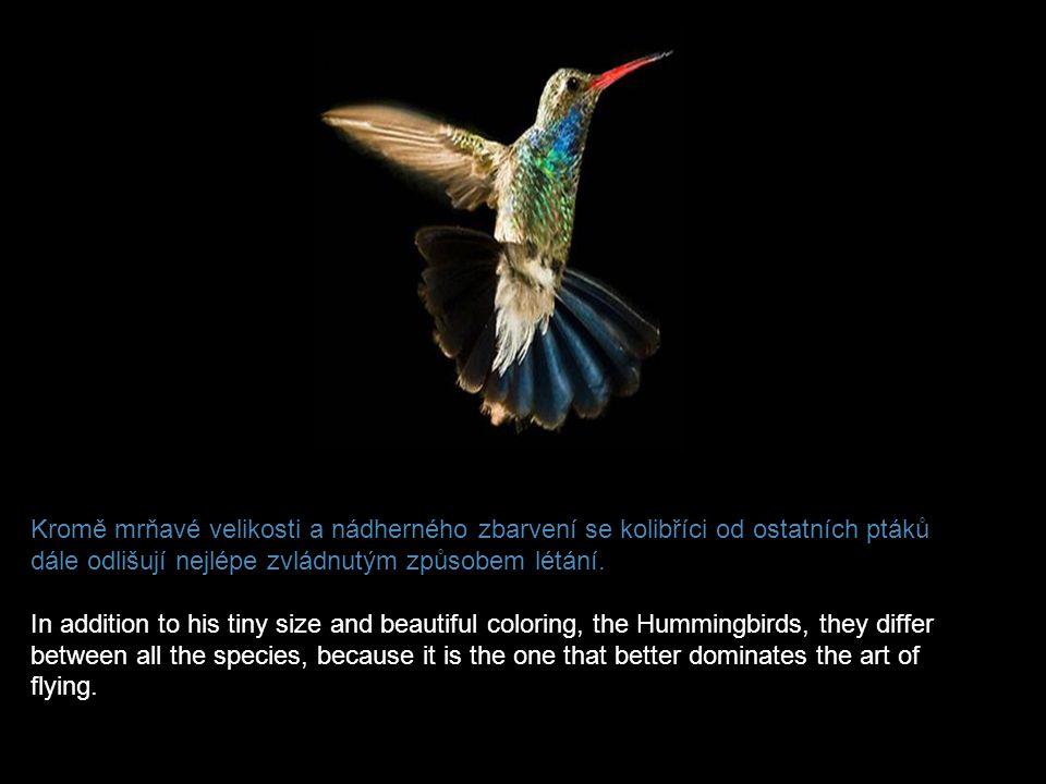 Kromě mrňavé velikosti a nádherného zbarvení se kolibříci od ostatních ptáků dále odlišují nejlépe zvládnutým způsobem létání.