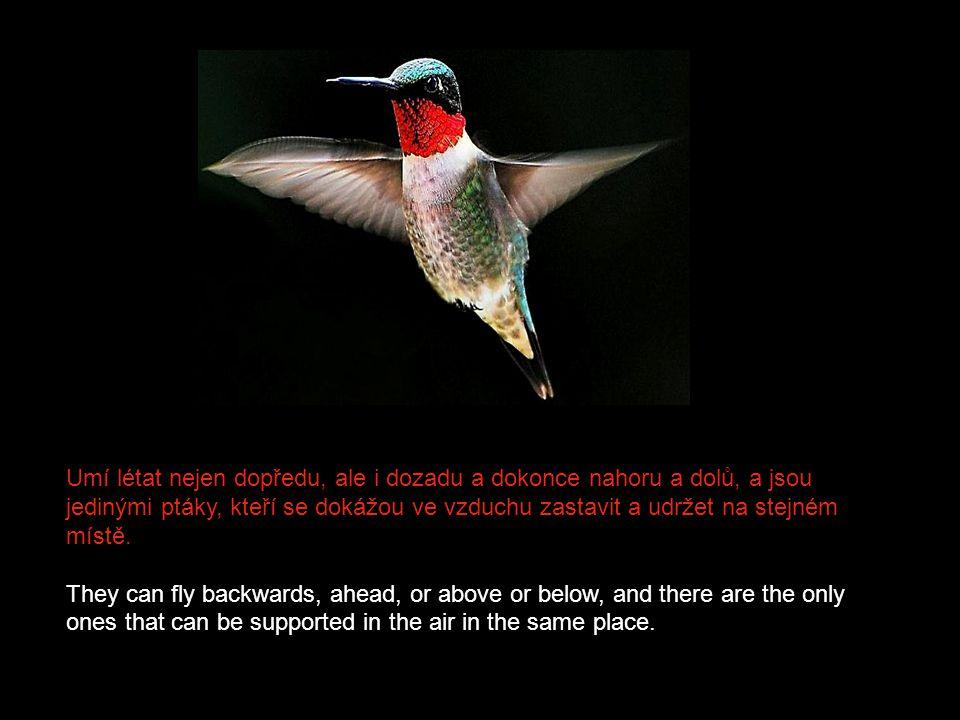 Kromě mrňavé velikosti a nádherného zbarvení se kolibříci od ostatních ptáků dále odlišují nejlépe zvládnutým způsobem létání. In addition to his tiny