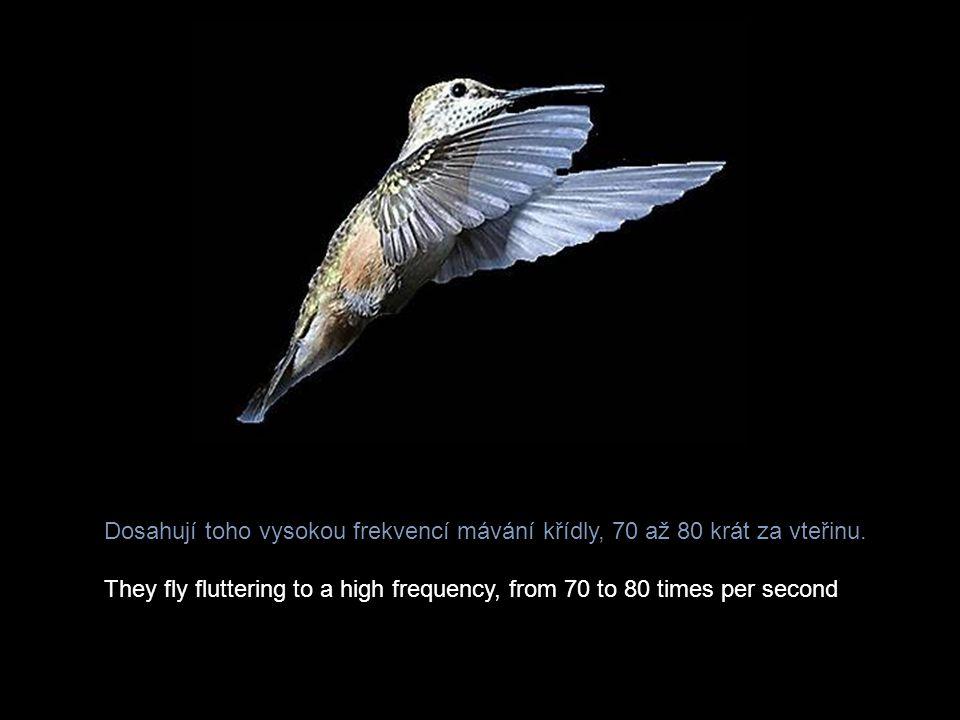 Největším nebezpečím pro kolibříky jsou draví ptáci a myši.