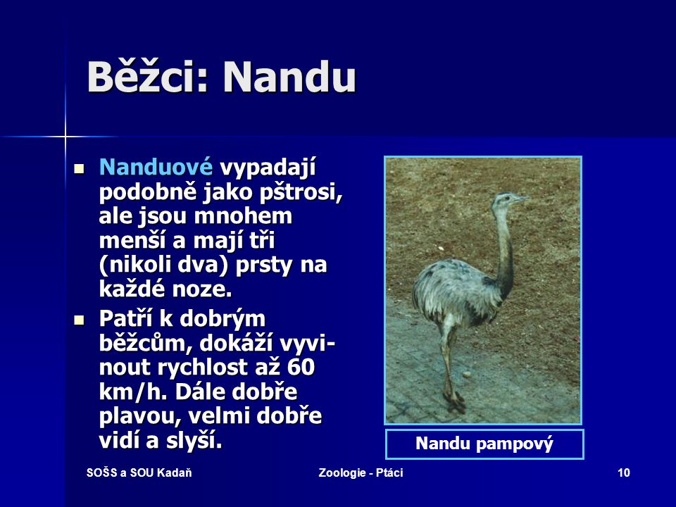 SOŠS a SOU KadaňZoologie - Ptáci10 Běžci: Nandu Nanduové vypadají podobně jako pštrosi, ale jsou mnohem menší a mají tři (nikoli dva) prsty na každé n