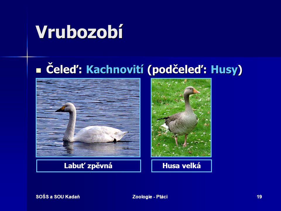 SOŠS a SOU KadaňZoologie - Ptáci19 Vrubozobí Čeleď: Kachnovití (podčeleď: Husy) Čeleď: Kachnovití (podčeleď: Husy) Husa velkáLabuť zpěvná