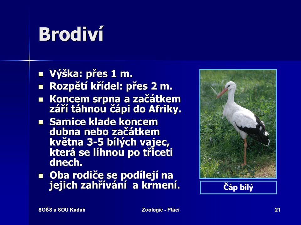 SOŠS a SOU KadaňZoologie - Ptáci21 Brodiví Výška: přes 1 m. Výška: přes 1 m. Rozpětí křídel: přes 2 m. Rozpětí křídel: přes 2 m. Koncem srpna a začátk
