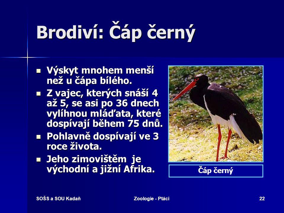 SOŠS a SOU KadaňZoologie - Ptáci22 Brodiví: Čáp černý Výskyt mnohem menší než u čápa bílého. Výskyt mnohem menší než u čápa bílého. Z vajec, kterých s