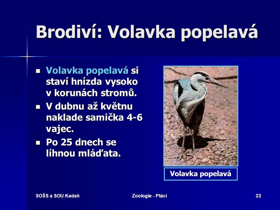 SOŠS a SOU KadaňZoologie - Ptáci23 Brodiví: Volavka popelavá Volavka popelavá si staví hnízda vysoko v korunách stromů. Volavka popelavá si staví hníz