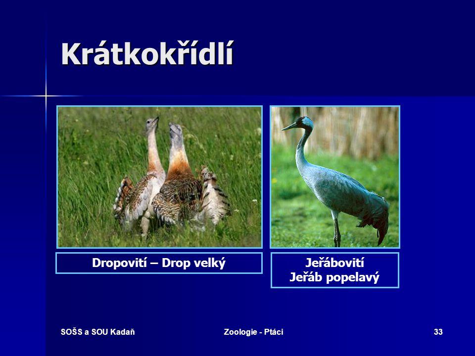 SOŠS a SOU KadaňZoologie - Ptáci33 Krátkokřídlí Dropovití – Drop velkýJeřábovití Jeřáb popelavý