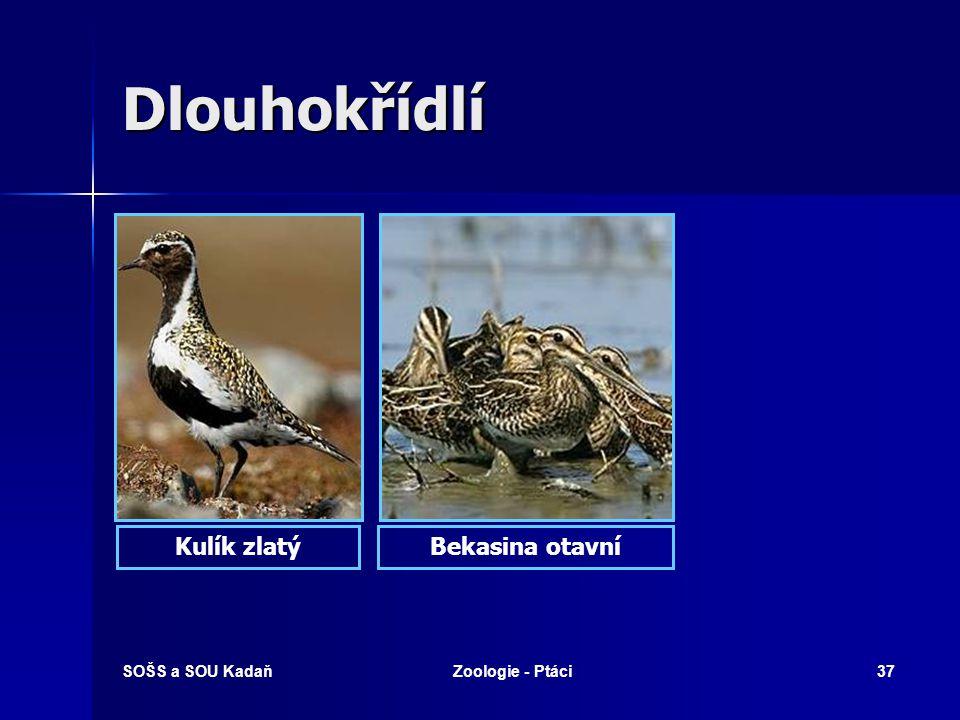 SOŠS a SOU KadaňZoologie - Ptáci37 Dlouhokřídlí Kulík zlatýBekasina otavní