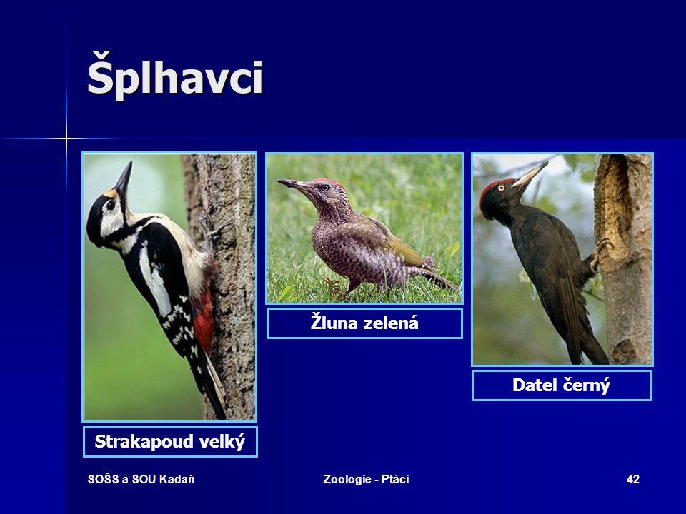 SOŠS a SOU KadaňZoologie - Ptáci42 Šplhavci Strakapoud velký Žluna zelená Datel černý