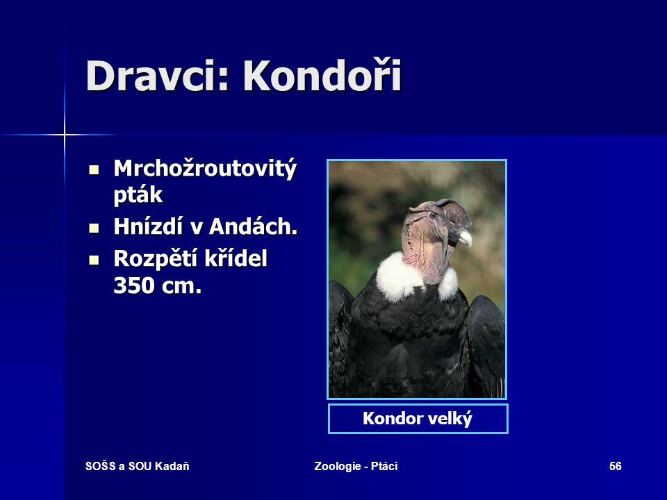 SOŠS a SOU KadaňZoologie - Ptáci56 Dravci: Kondoři Mrchožroutovitý pták Hnízdí v Andách. Rozpětí křídel 350 cm. Kondor velký