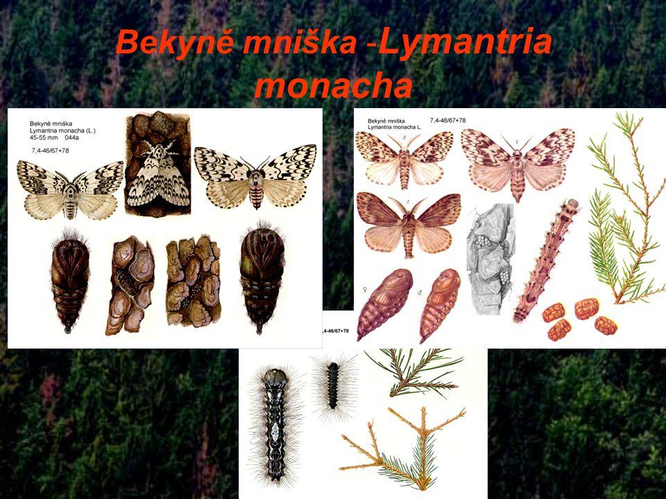 Bekyně mniška - Lymantria monacha