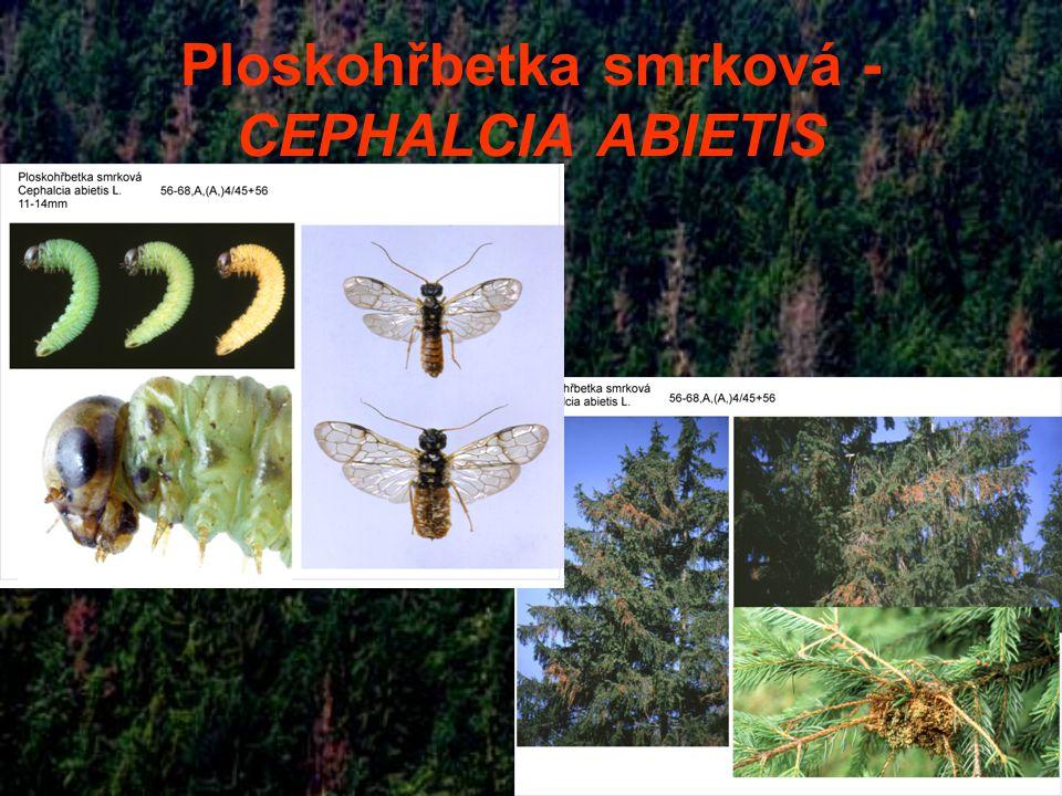 Ploskohřbetka smrková - CEPHALCIA ABIETIS