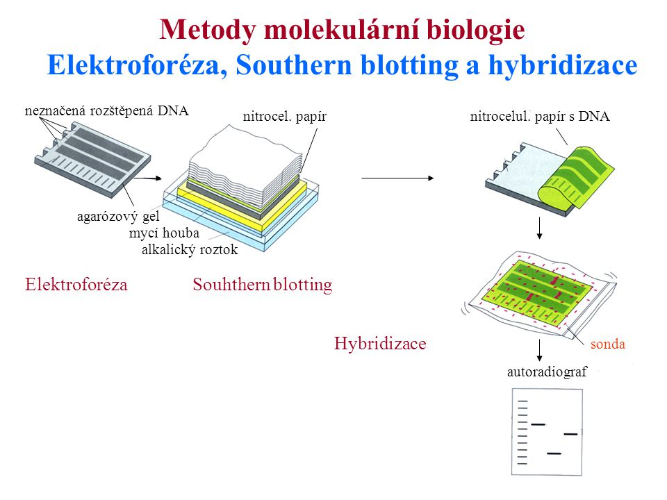 Metody molekulární biologie Elektroforéza, Southern blotting a hybridizace ElektroforézaSouhthern blotting Hybridizace sonda nitrocelul. papír s DNA a