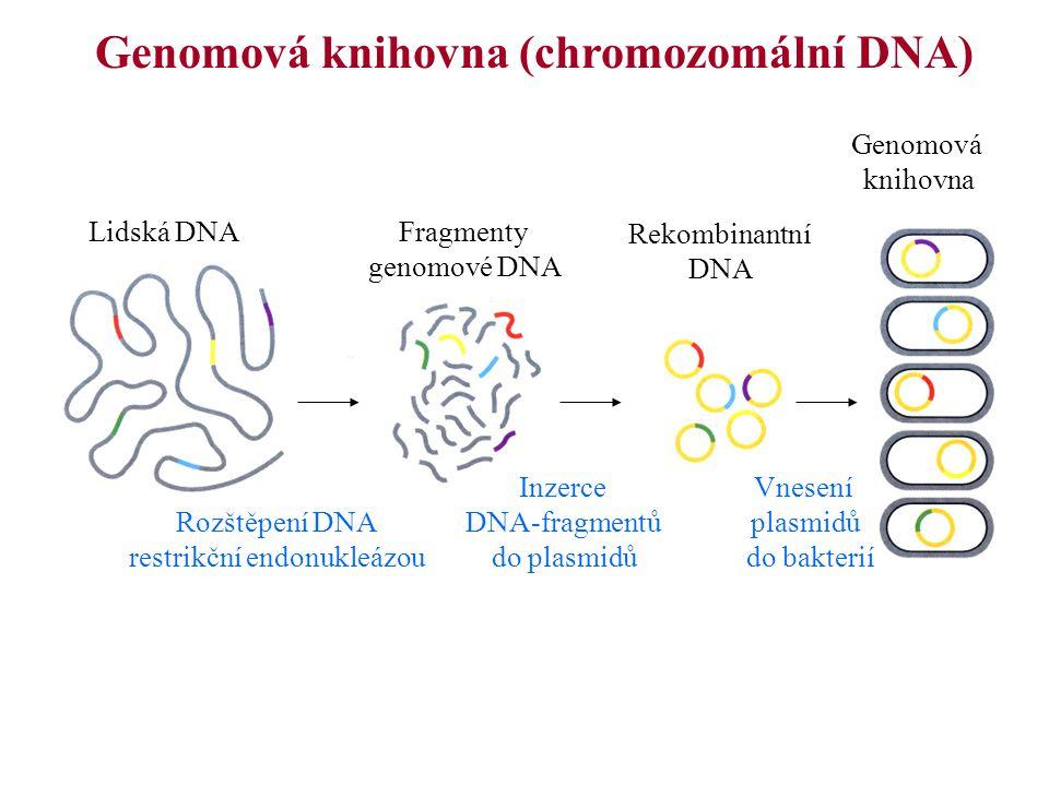 Genomová knihovna (chromozomální DNA) Lidská DNAFragmenty genomové DNA Rekombinantní DNA Genomová knihovna Rozštěpení DNA restrikční endonukleázou Inz