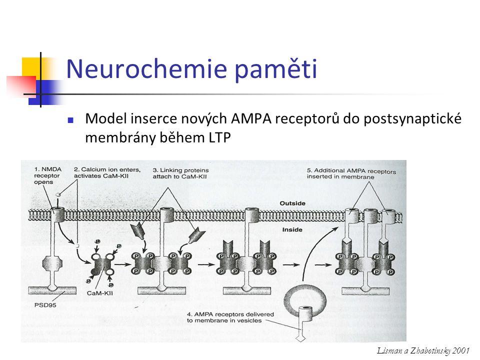 Model inserce nových AMPA receptorů do postsynaptické membrány během LTP Lisman a Zhabotinsky 2001