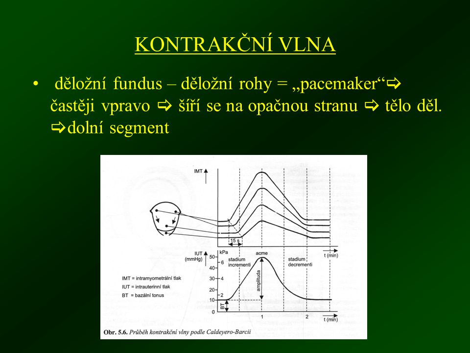 """KONTRAKČNÍ VLNA děložní fundus – děložní rohy = """"pacemaker  častěji vpravo  šíří se na opačnou stranu  tělo děl."""
