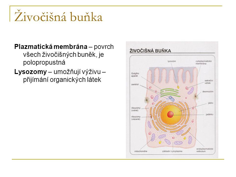 Živočišná buňka Plazmatická membrána – povrch všech živočišných buněk, je polopropustná Lysozomy – umožňují výživu – přijímání organických látek