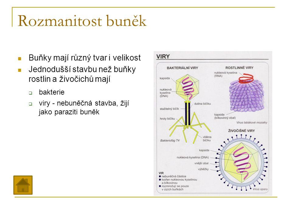 Rozmanitost buněk Buňky mají různý tvar i velikost Jednodušší stavbu než buňky rostlin a živočichů mají  bakterie  viry - nebuněčná stavba, žijí jak